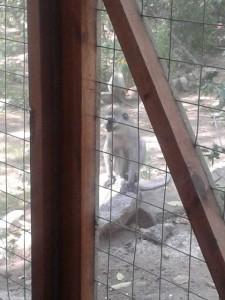 Sinds een paar weken hebben we apen in de tuin. Leuk, maar ook ondeugend. Op een dag zaten er opeens drie in de woonkamer!